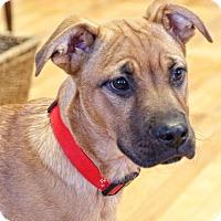 Adopt A Pet :: Cinco - Knoxville, TN