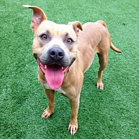 Pit Bull Terrier/American Pit Bull Terrier Mix Dog for adoption in Lake Forest, California - Scarlett