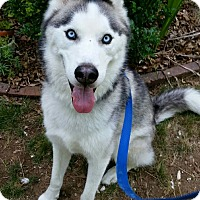 Adopt A Pet :: Loki in CT - Manchester, CT