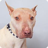 Adopt A Pet :: Norman - Mission Hills, CA