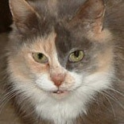 Photo 1 - Calico Cat for adoption in Frankenmuth, Michigan - Puddles- Cancer Survivor