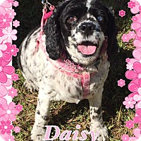 Adopt A Pet :: Daisy - Greensboro, MD