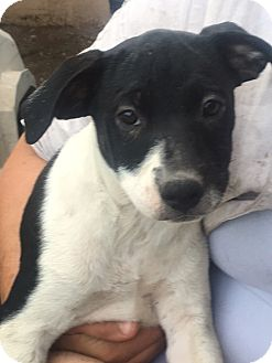 Border Collie/Pit Bull Terrier Mix Puppy for adoption in Torrington, Wyoming - Tierra
