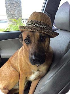 Belgian Malinois Mix Dog for adoption in San Clemente, California - Cassie