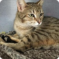 Domestic Shorthair Cat for adoption in Manteo, North Carolina - Brownie
