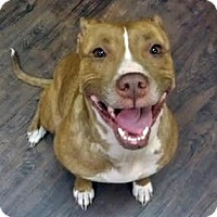 American Pit Bull Terrier Mix Dog for adoption in Surrey, British Columbia - Sheena