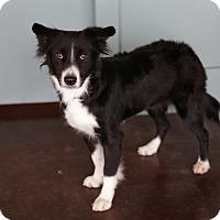 Adopt A Pet :: Zoey - San Antonio, TX