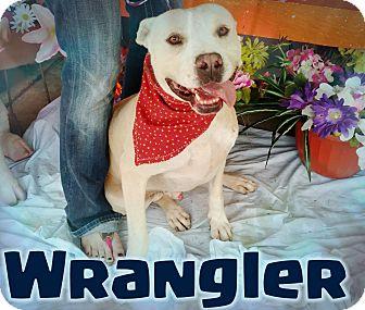 Pit Bull Terrier Mix Dog for adoption in Odessa, Texas - Wrangler