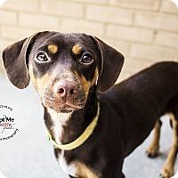 Dachshund Mix Dog for adoption in Mooresville, North Carolina - Nicki Minaj