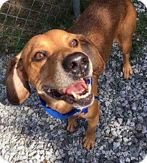 Hound (Unknown Type) Mix Dog for adoption in Greensboro, North Carolina - Ziggy