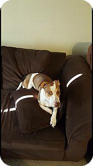 Basset Hound/Catahoula Leopard Dog Mix Dog for adoption in Jacksonville, Texas - Bosely
