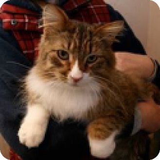 Domestic Longhair Cat for adoption in Green Bay, Wisconsin - Kirk