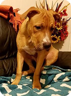 Pit Bull Terrier Mix Puppy for adoption in Bronx, New York - Ralphie