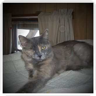 Domestic Mediumhair Cat for adoption in Medford, Wisconsin - ELOISE