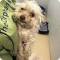 Adopt A Pet :: Gizmo - Chino Hills - Chino Hills, CA