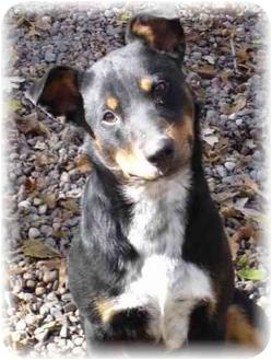 ... Dog | 1247 | Wyoming, MN | Australian Cattle Dog/Doberman Pinscher Mix