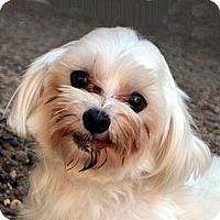 Adopt A Pet :: Toby - Bridgeton, MO