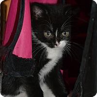 Adopt A Pet :: Jane's Foster Kitten - Tuxedo - Island Park, NY