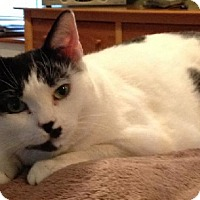 Domestic Shorthair Cat for adoption in Herndon, Virginia - Raz