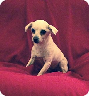 Chihuahua Dog for adoption in Bridgewater, New Jersey - Felice