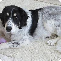 Adopt A Pet :: Sebastian - Arvada, CO