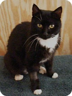 Domestic Shorthair Cat for adoption in Transfer, Pennsylvania - Mookie