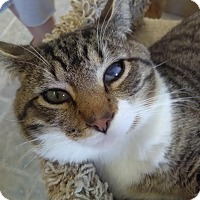 Domestic Shorthair Cat for adoption in Owenboro, Kentucky - THOM!