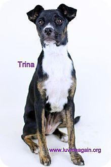 Boston Terrier/Whippet Mix Dog for adoption in Bloomington, Minnesota - Trina