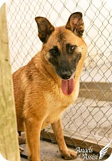 Belgian Malinois Mix Dog for adoption in Roanoke, Virginia - Patrina