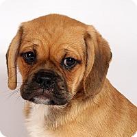 Adopt A Pet :: Paxton Puggle - St. Louis, MO