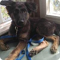 Adopt A Pet :: Holden - Morrisville, NC