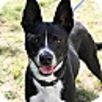 Boston Terrier/Terrier (Unknown Type, Small) Mix Dog for adoption in Alexandria, Virginia - TonyBLU