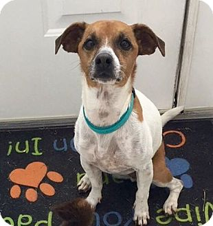 Jack Russell Terrier Mix Dog for adoption in Palm Harbor, Florida - Tucker - URGENT FOSTER and ADOPTER NEEDED