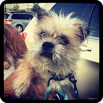 Yorkie, Yorkshire Terrier/Cairn Terrier Mix Dog for adoption in Grand Bay, Alabama - Dexter
