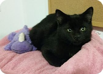 Domestic Shorthair Kitten for adoption in Montreal, Quebec - Willy