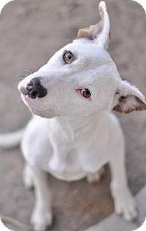 Labrador Retriever/Pit Bull Terrier Mix Puppy for adoption in Las Vegas, Nevada - Smores