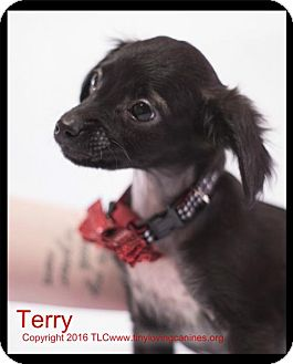 Miniature Pinscher/Rat Terrier Mix Puppy for adoption in Simi Valley, California - Terry