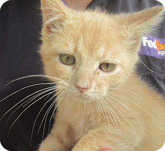 Domestic Mediumhair Kitten for adoption in Germantown, Maryland - Pluto