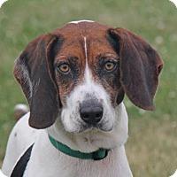Beagle Mix Dog for adoption in Woodstock, Illinois - BooBoo