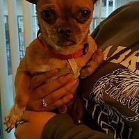 Adopt A Pet :: PeeWee - Alhambra, CA