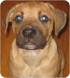 Boxer/Bullmastiff Mix Puppy for adoption in Chicago, Illinois - Vicki