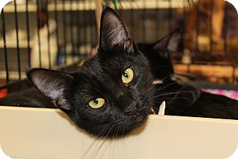 Domestic Mediumhair Kitten for adoption in Santa Monica, California - Midnight