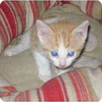 Adopt A Pet :: baby kitten - Etobicoke, ON