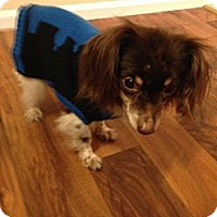 Adopt A Pet :: Sam - bridgeport, CT