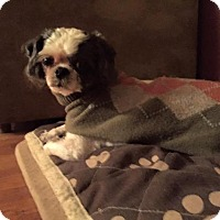 Adopt A Pet :: Pip - Pittsburgh, PA