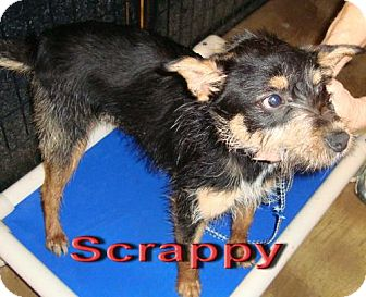 Terrier (Unknown Type, Medium) Mix Dog for adoption in Coleman, Texas - Scrappy