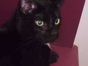 Domestic Shorthair Cat for adoption in Muscatine, Iowa - Silky