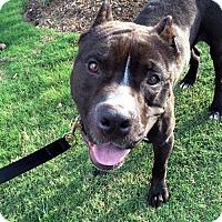 Adopt A Pet :: Rome - Charlotte, NC