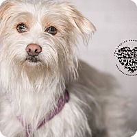 Adopt A Pet :: Mini - Inglewood, CA