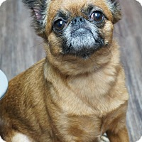 Brussels Griffon Dog for adoption in Los Alamitos, California - Punkin 2